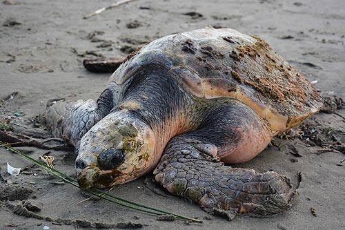 Rescue of Rare Turtle on N. Oregon Coast Has Unhappy Ending