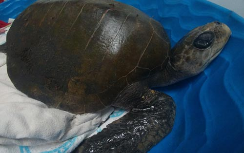 Turkey the Rescued Turtle Passes Away at Oregon Coast Aquarium