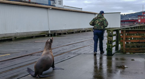 Comical and the Sad on Oregon Coast: Silly Sea Lion, Rescued Turtle Dies