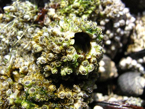(Photo: intertidal species such as barnacles will show up at the science workshop in July