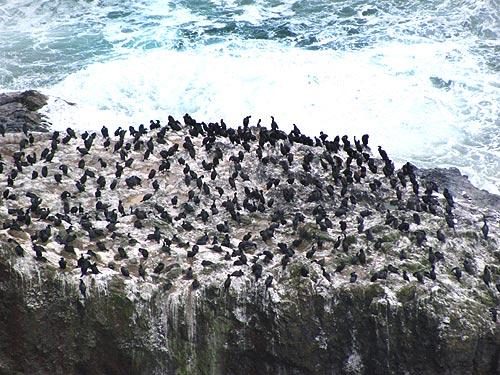 Birds On Oregon Coast Now Hummingbirds Murres Puffins