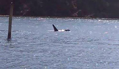 Updated Orcas Their Babies On Oregon Coast Caught On Video
