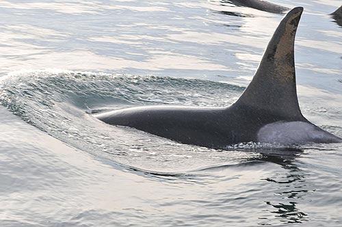 Recent Orca Whale Sightings Off Washington Coast