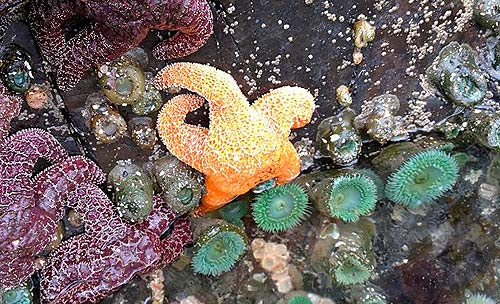 Tide pool clinics in Lincoln City in the spring help you discover sea stars
