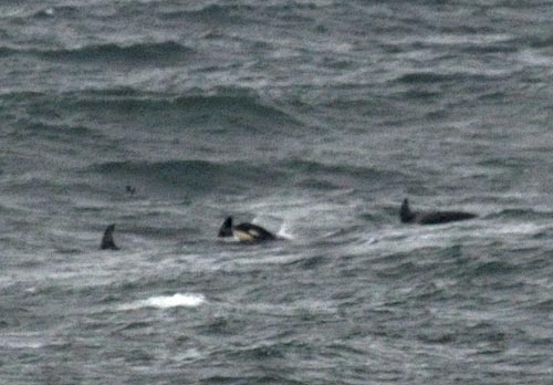 Oregon coast killer whale season kicks off early Depoe bay aquarium