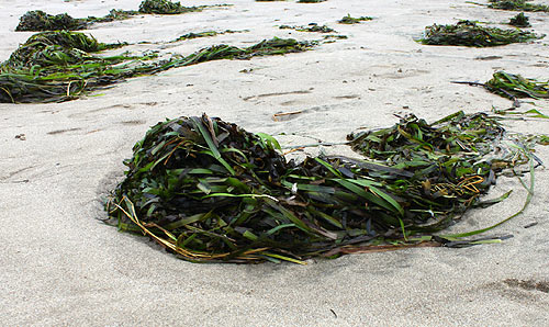 Photo: bull kelp has been piling up on the coast lately