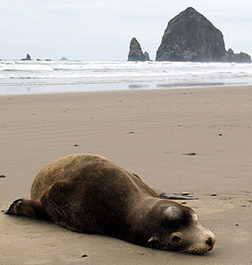 Sea Lion Threat May Be Diminishing On Oregon Coast