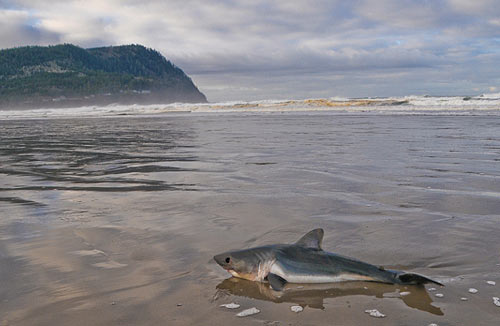 Fascinating oregon coast finds shark and sea angel for Seaside oregon fishing