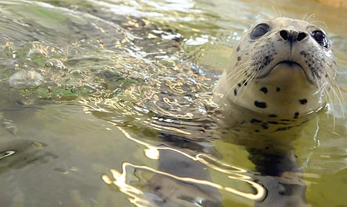 N Oregon Coast Sees Yet Another New Seal Pup