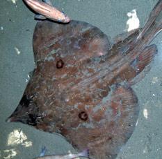 Deep sea fish washes up on oregon coast alive for Deep sea fishing oregon coast