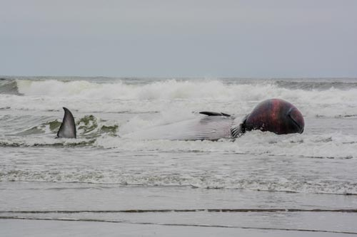 Almost-Exploding Minke Whale Washes Up Near N. Oregon Coast Border