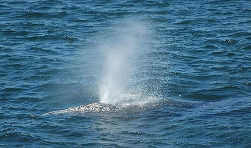 Oregon Coast Whale Watching: 6 to 20 Sightings a Day